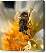 Hoverfly On White Flower Canvas Print