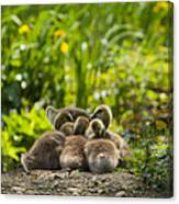 Huddled Goslings Baby Geese Along River's Edge Canvas Print