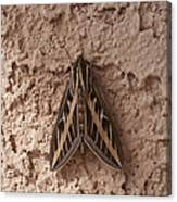Huge Moth On Stucco In Las Vegas Canvas Print
