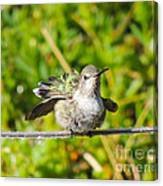 Hummer Takes A Shower Canvas Print