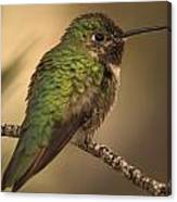 Humming Bird On Branch Canvas Print