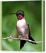 Hummingbird - Male - Will Soon Be Grown Canvas Print