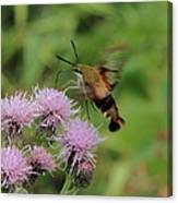 Hummingbird Clearwing Moth Canvas Print