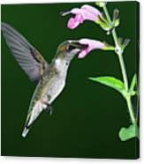 Hummingbird Feeding On Pink Salvia Canvas Print