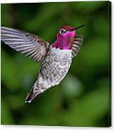 Hummingbird Glory Canvas Print