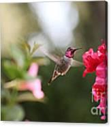 Hummingbird In Bougainvillea Canvas Print
