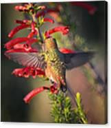 Hummingbird In Flight 1 Canvas Print