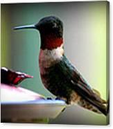 Hummingbird-male Canvas Print