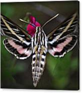 Hummingbird Moth - White-lined Sphinx Moth Canvas Print