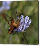 Hummingbird Or Clearwing Moth Din137 Canvas Print