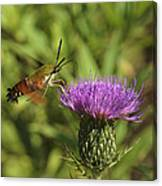 Hummingbird Or Clearwing Moth Din141 Canvas Print