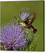 Hummingbird Or Clearwing Moth Din178 Canvas Print