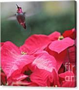 Hummingbird Over Poinsettias Canvas Print