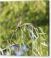 Hummingbird Resting In The Willow Canvas Print