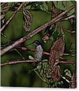 Hummingbird Waiting For Dinner Canvas Print
