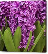 Hyacinth Hyacinthus Sp Miss Saigon Canvas Print