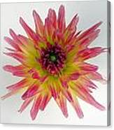 Hybrid Dahlia Canvas Print