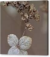 Hydrangea Arborescens Dry Flower Head In Winter Canvas Print