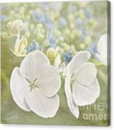 Hydrangea Dreams Canvas Print