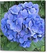 Hydrangea Flowerhead Canvas Print