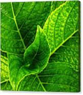 Hydrangea Leaves Canvas Print