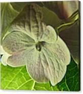 Hydrangea Macro Canvas Print