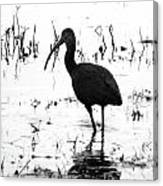 Ibis Pintail Drive Cameron Prairie Nwr Canvas Print