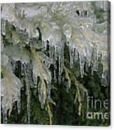Ice-coated Arborvitae Canvas Print