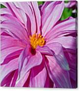 Ice Pink Dahlia Canvas Print