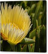 Ice Plant Bloom Canvas Print