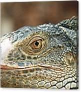 Iguana (iguana Iguana) Canvas Print
