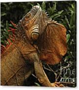 Iguana Costa Rica Canvas Print