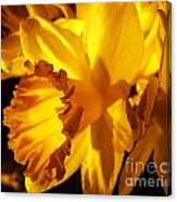 Illuminated Daffodil Photograph Canvas Print