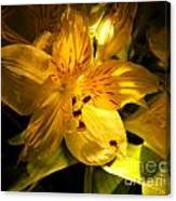 Illuminated Yellow Alstromeria Photograph Canvas Print