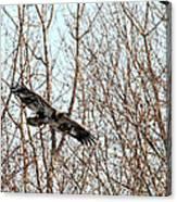 Immature Bald Eagle Flying Canvas Print