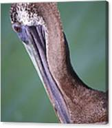 Immature Brown Pelican Canvas Print