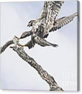 Immature Eagle At Play Canvas Print