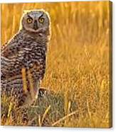 Immature Great Horned Owl Backlit Canvas Print
