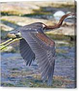 Immature Tricolored Heron Flying Canvas Print
