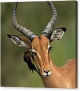 Impala Aepyceros Melampus Buck Africa Canvas Print