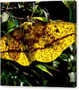 Imperial Moth Din053 Canvas Print