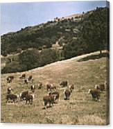 In A Pasture Near Pleasanton Hereford Canvas Print