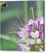 Incoming Bee Canvas Print