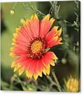 Indian Blanket Flower Canvas Print