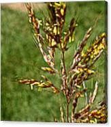 Indian Grass Seed Canvas Print
