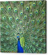 Indian Peafowl Pavo Cristatus Male Canvas Print