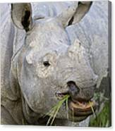 Indian Rhinoceros Grazing Kaziranga Canvas Print
