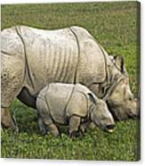 Indian Rhinoceroses Canvas Print