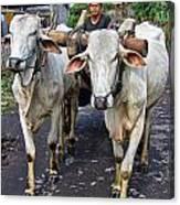 Indonesian Bovine Cart Canvas Print