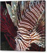 Indonesian Lionfish On A Wreck Site Canvas Print